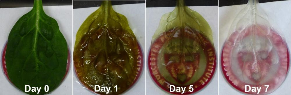 Charting the decellularization process:by the seventh day, the leaf had lost its coloring and plant cells after being treated with a decellularization solution and sodium chlorite