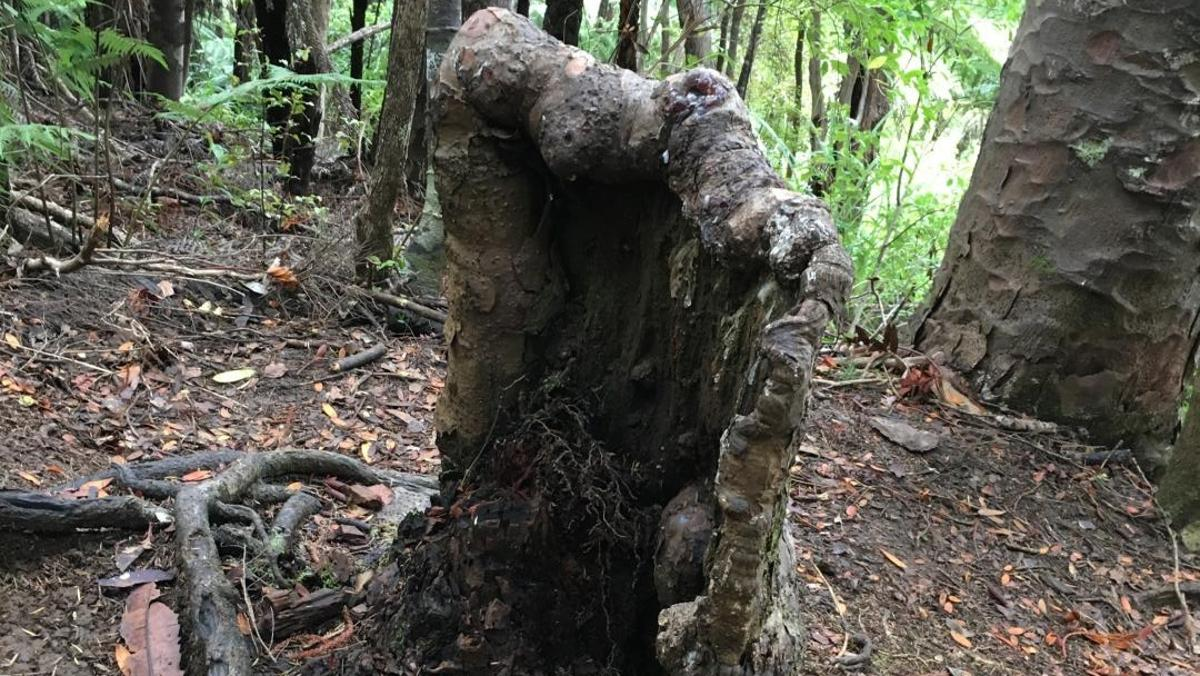 The kauri tree (Agathis australis) stump, which lives on with no leaves