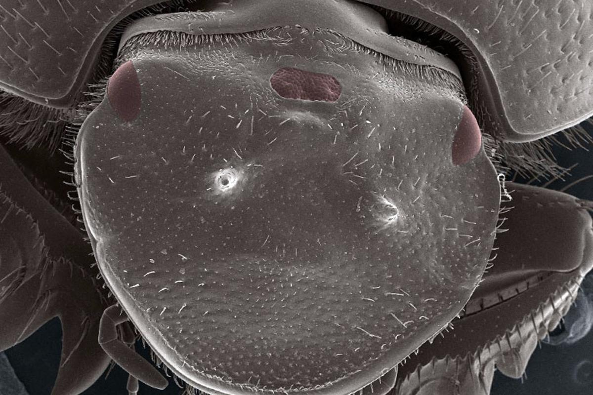 Biologists have grown a third functional eye on the forehead of beetles, using a simple genetic tool
