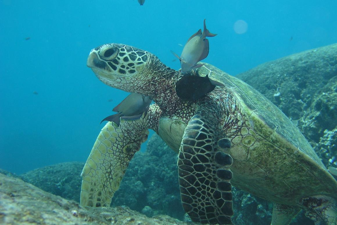 Green sea turtles are listed as threatened or endangered throughout their range