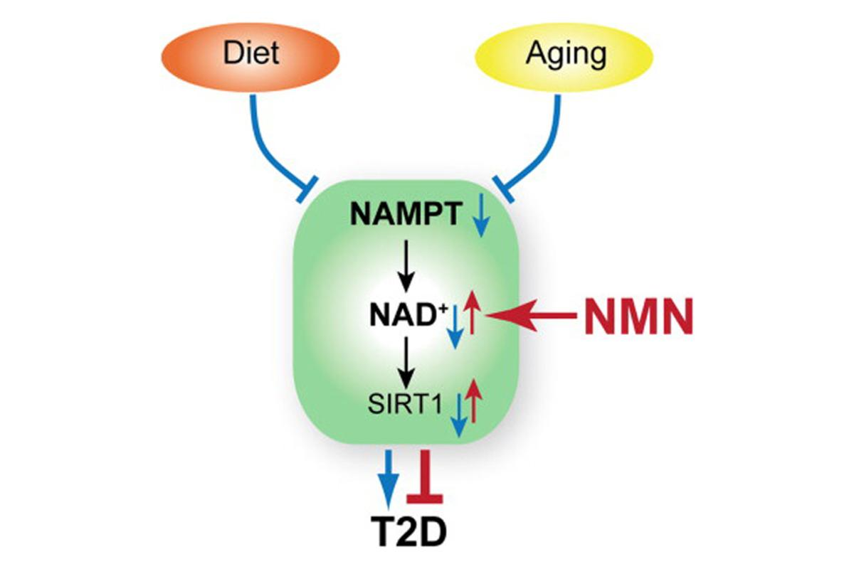The naturally occurring compound, NMN, has been shown to reverse diabetes in mice