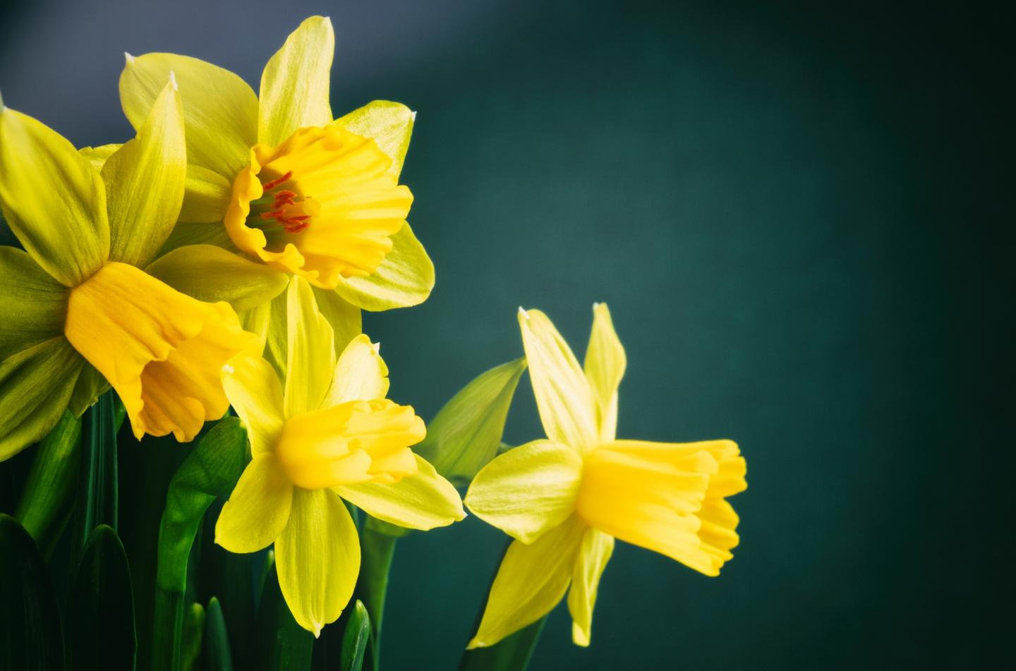 A compound extracted from daffodils has been found to be a potential cancer killer