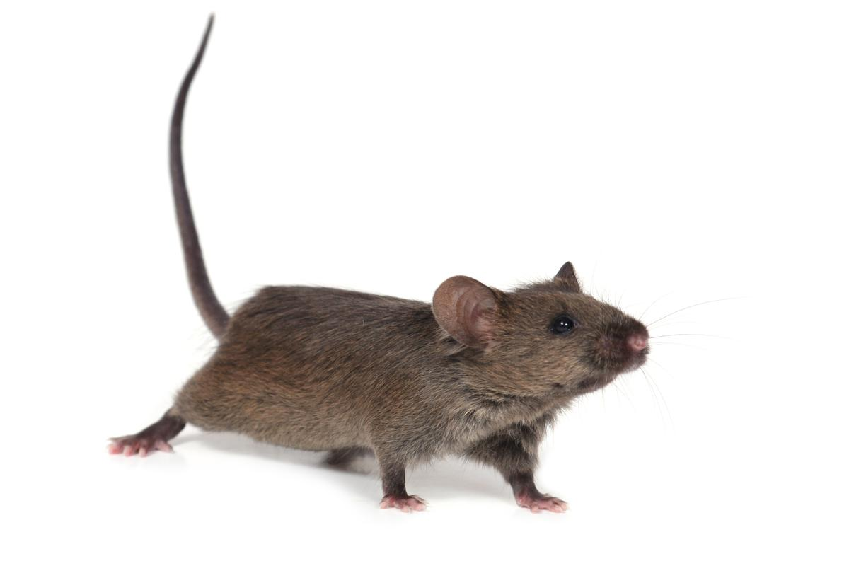 HIH researchers have found that suppressing the expression of a single gene in mice extends their average lifespan by about 20 percent (Photo: Shutterstock)