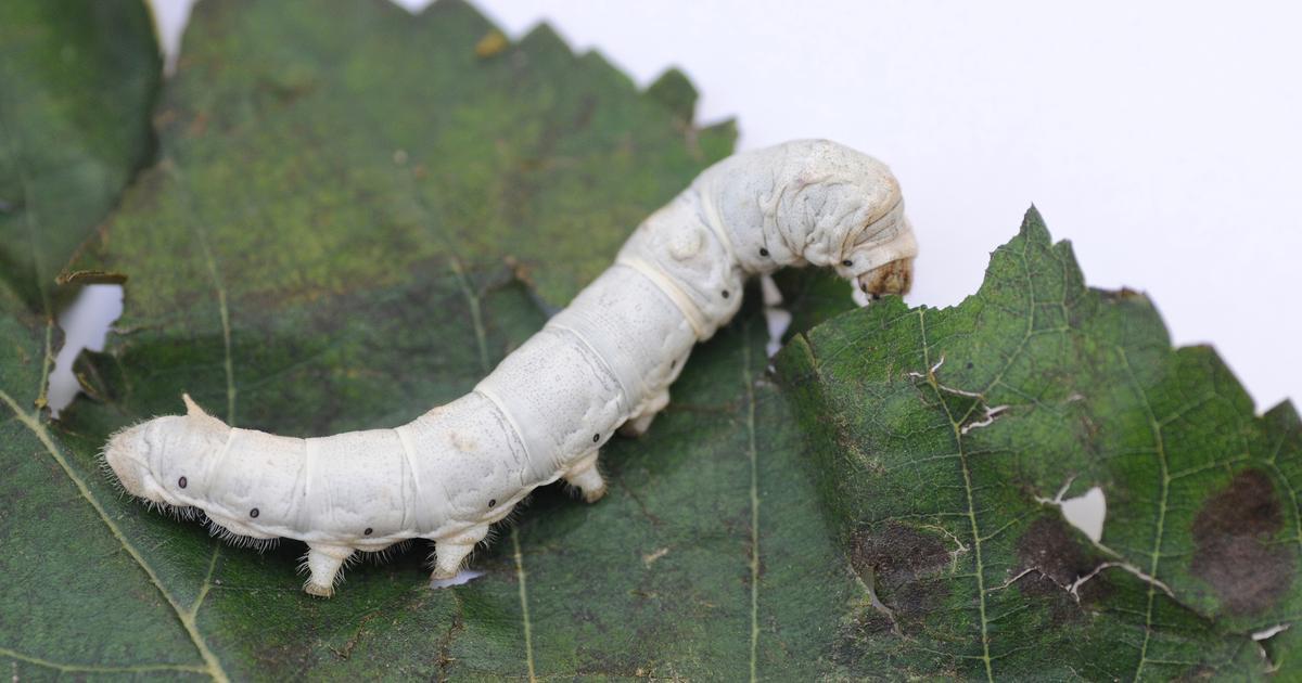Special silkworm diet results in stronger silk