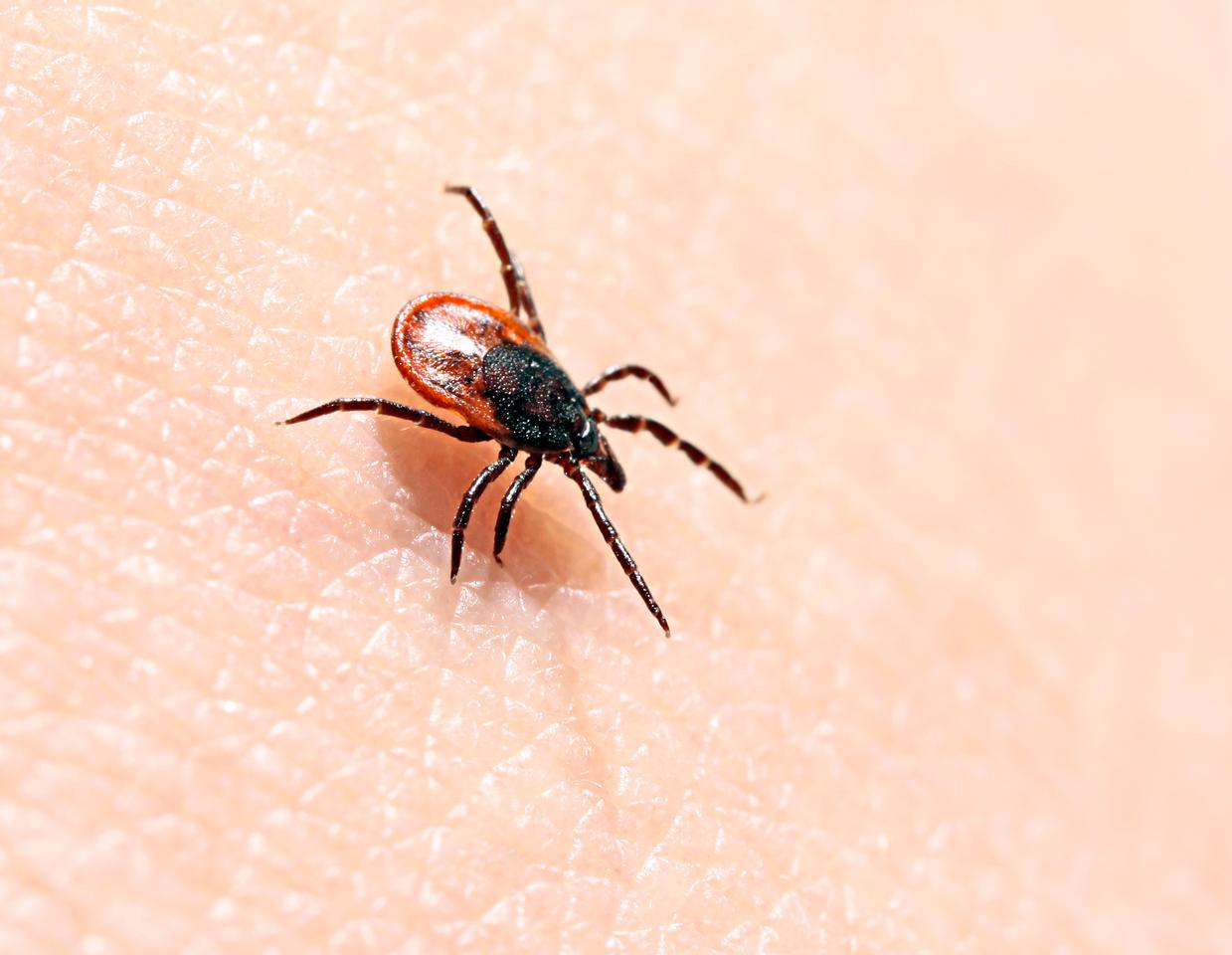 Scientists have uncovered a potential new treatment for Lyme disease, which is spread by ticks and affects as many as 300,000 people a year in the US