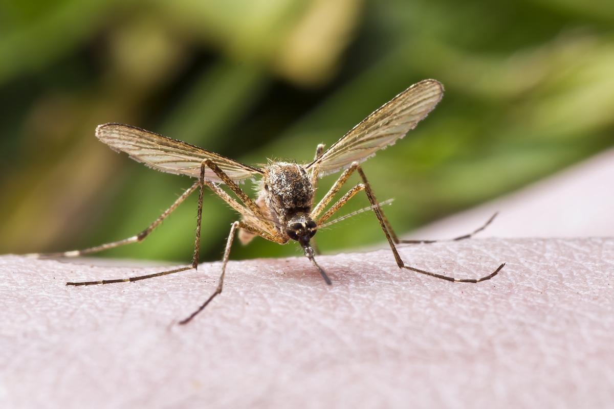 Foul-smelling, toxic mosquito repellent could soon become a thing of the past (Photo: Shutterstock)