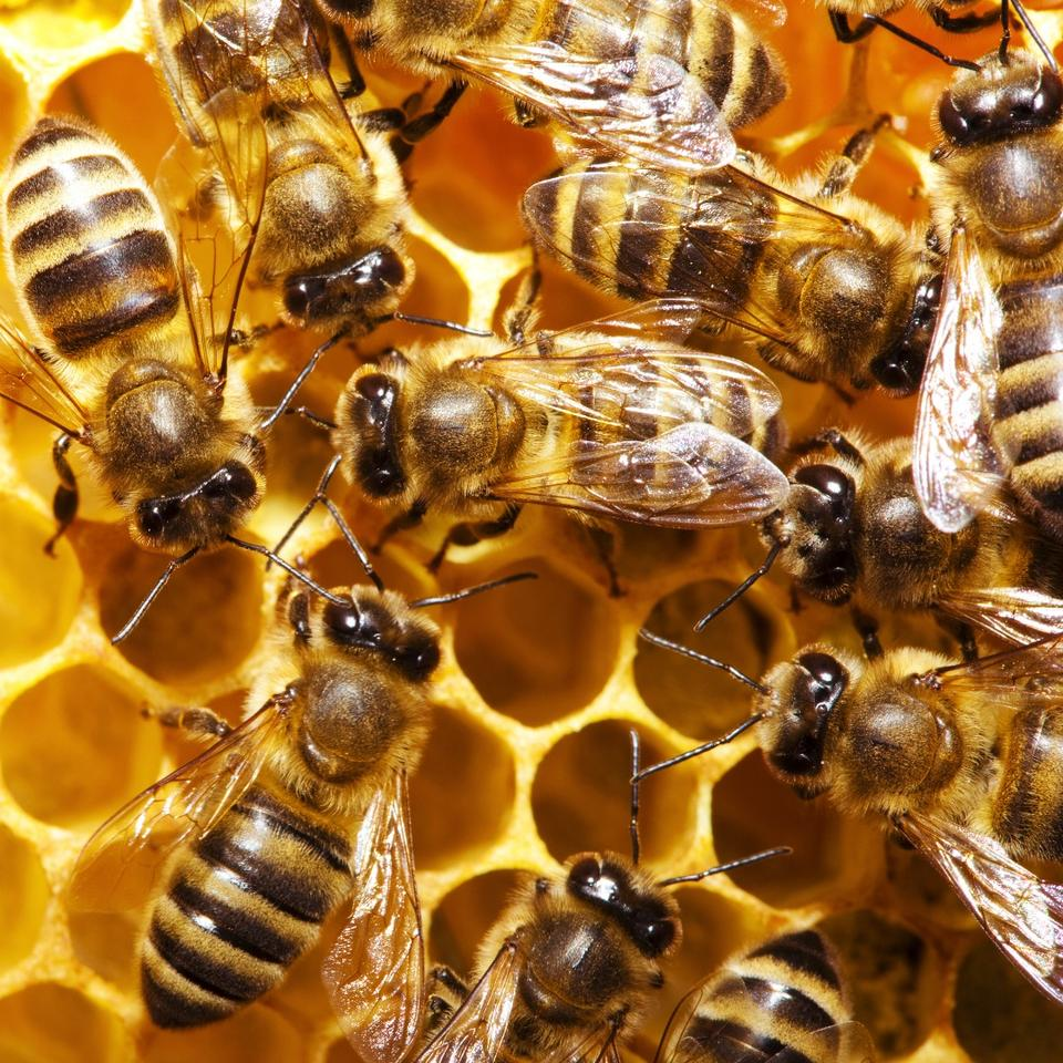 Researchers at QMUL have discovered that bees can be taught to pull a string for food, a behavior previously thought too advanced for insects