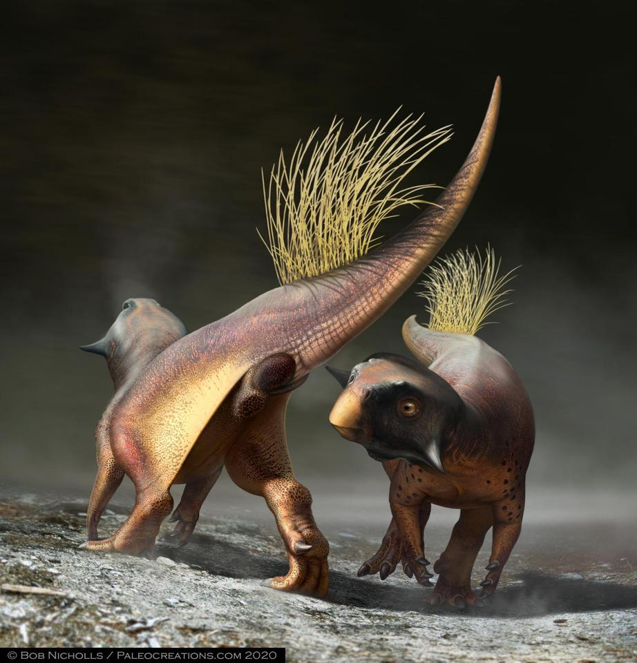 An artist's recreation of Psittacosaurus and in particular, its cloacal vent