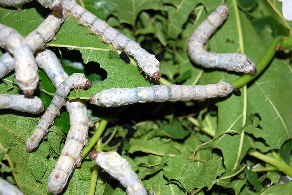 Biotech firm Sigma Life Science plans on developing genetically-modified silkworms, that will produce spider silk for use in commercial applications(Photo: Fastily)