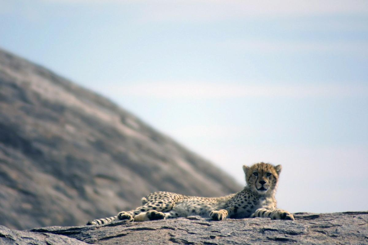 In Zimbabwe, cheetah numbers have dwindled from 1,2000 to a maximum of 170 in 16 years
