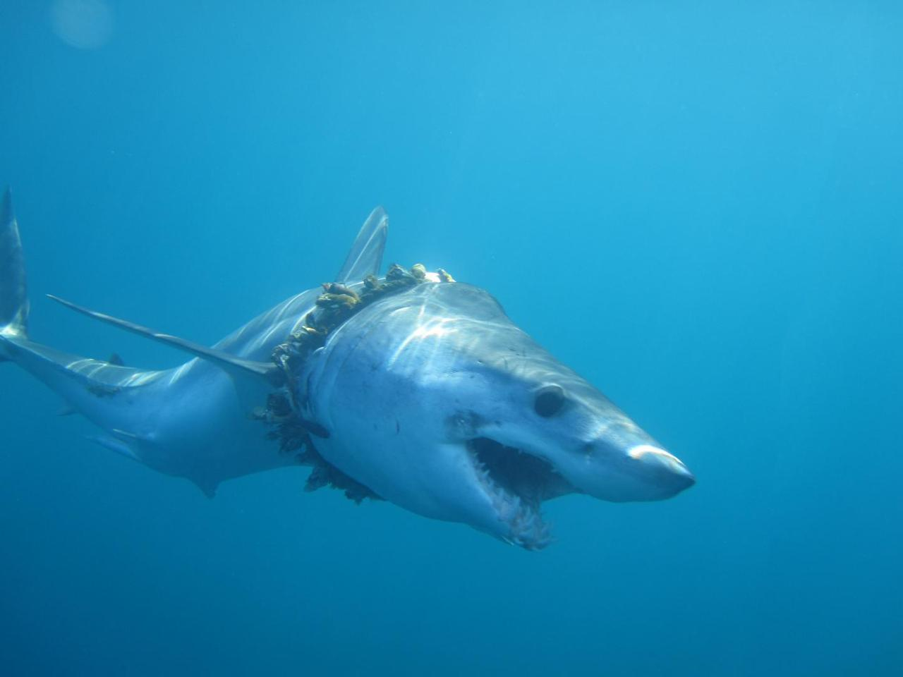 A shortfin mako shark with scoliosis of the back caused by tangled barnacle-covered fishing rope
