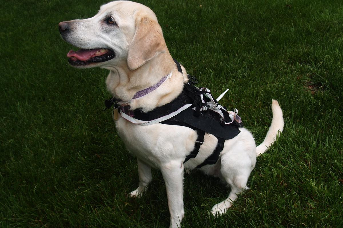 The computer uses sensors in the harness to assess the dogs' posture and movements