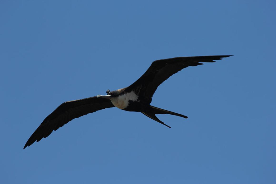 On average the frigatebirds monitored in the study were only sleeping for 42 minutes per day