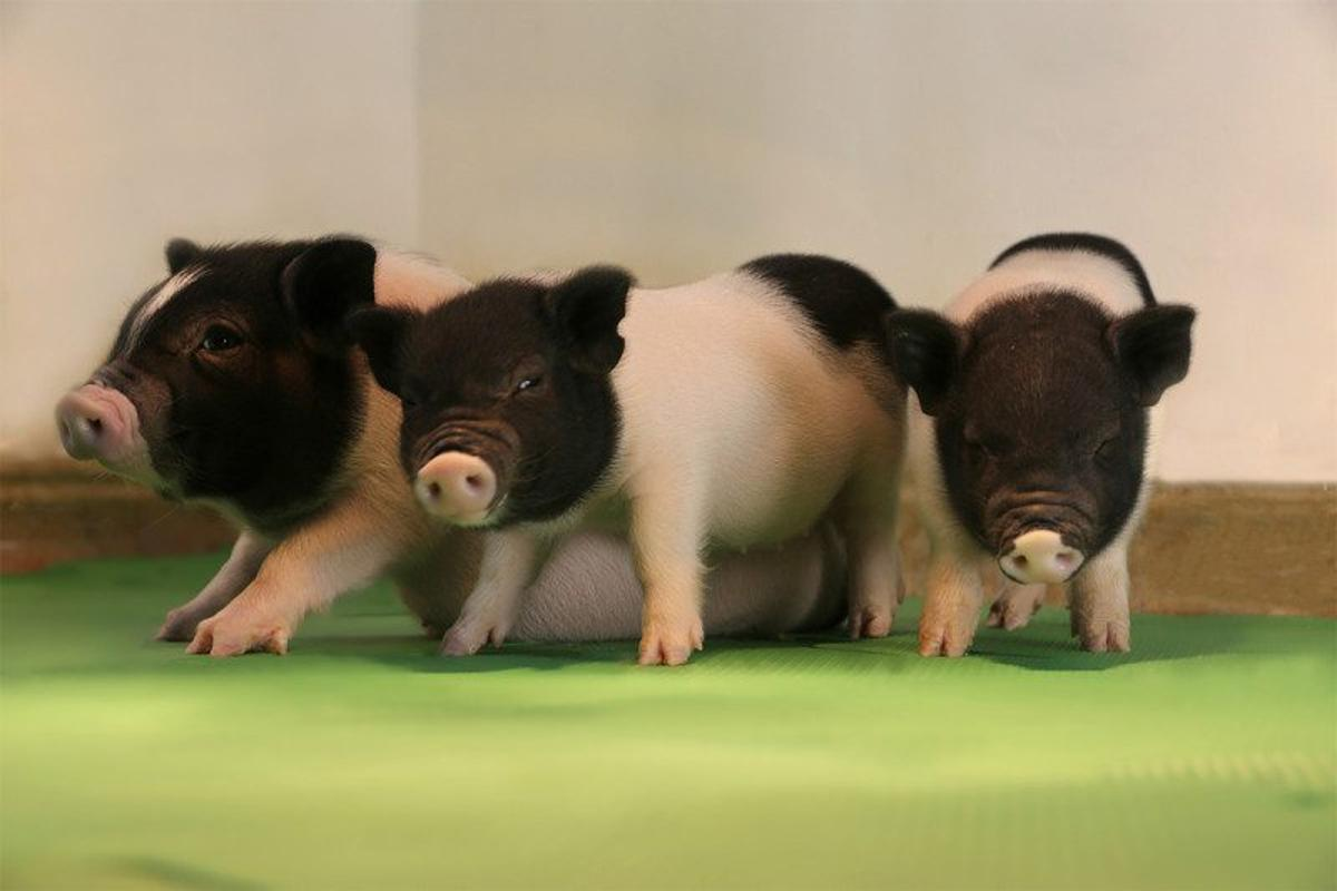 These healthy piglets have been genetically modified to be free of retroviruses, bringing us one step closer to achieving widespread animal/human organ transplants