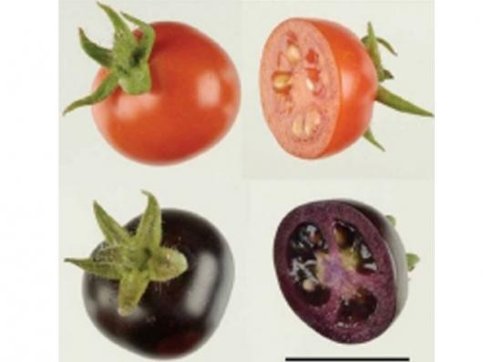 The modified tomato and its natural cousinPic: Ars Technica.