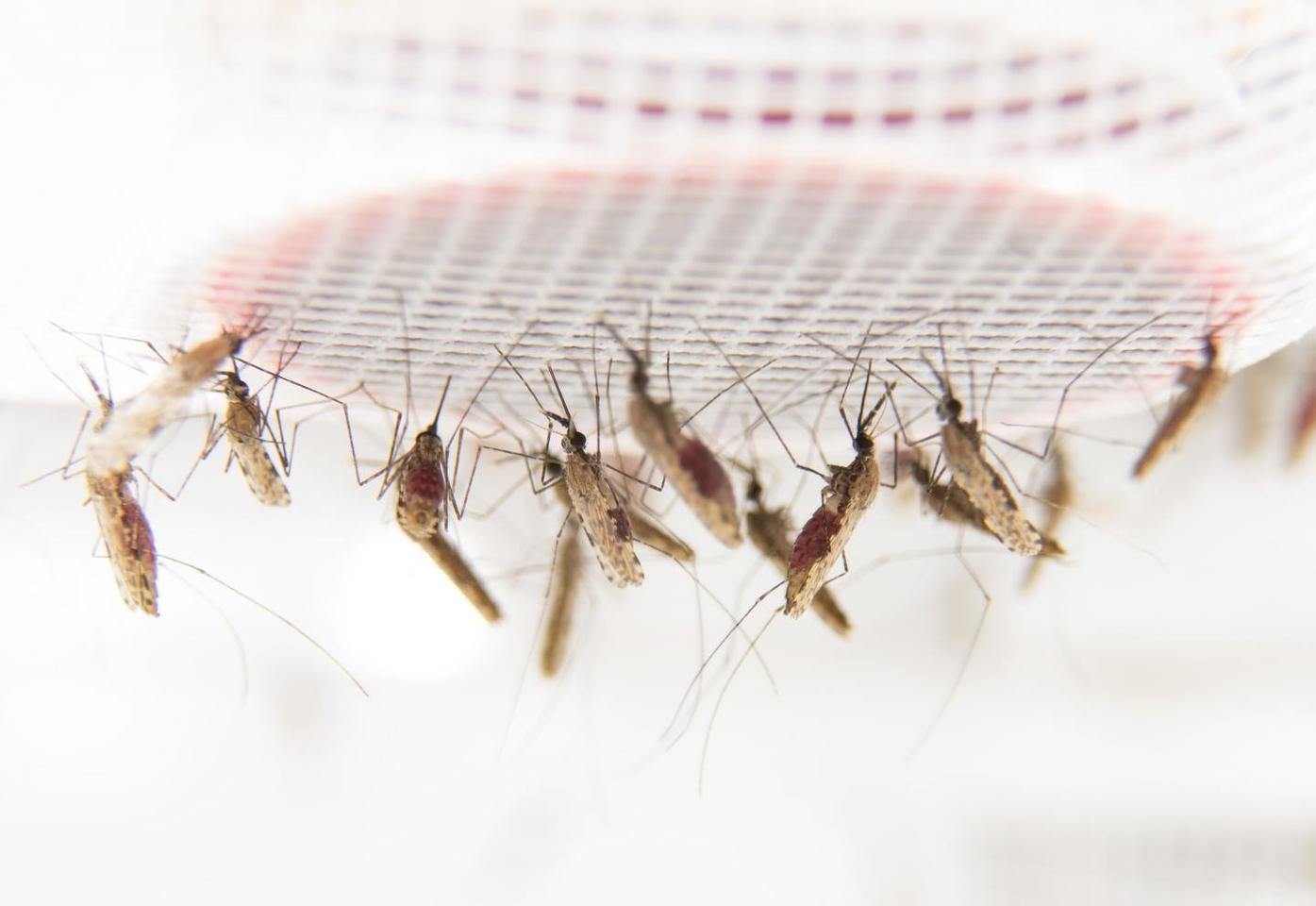 Mosquitos feeding the lab at Stockholm University