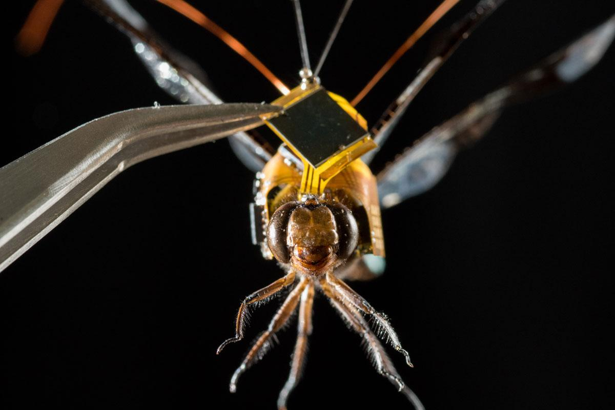 The DragonflEye system fits into a tiny electronic backpack that allowsthe insect to becontrolled through pulses of light piped into the steering neurons in its brain