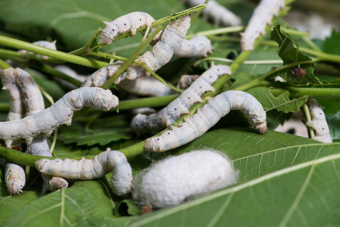 Protein from silkworm cocoons has been used to create strong yet biodegradable bone fixation devices (Photo: Shutterstock)