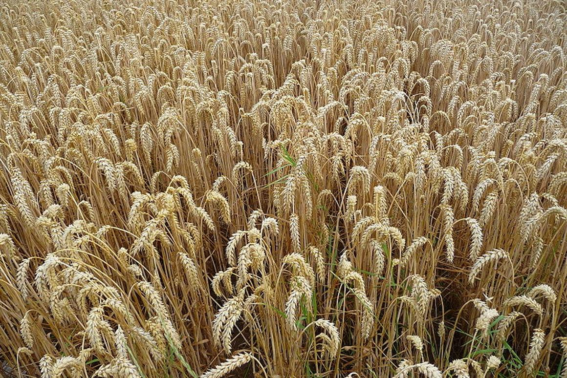 UK scientists have sequenced the entire wheat genome, and released the data to crop breeders (Image: 3268zauber)