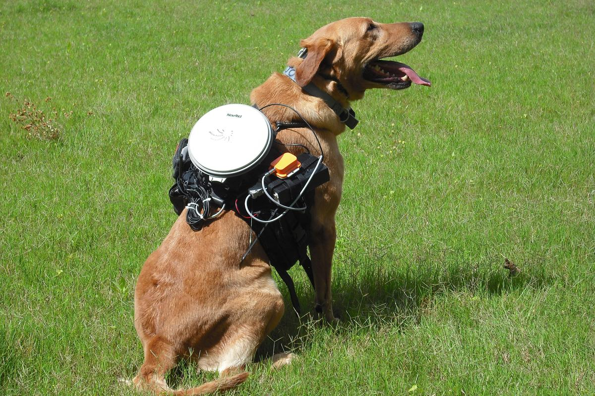 Major the dog, suited up with the control system