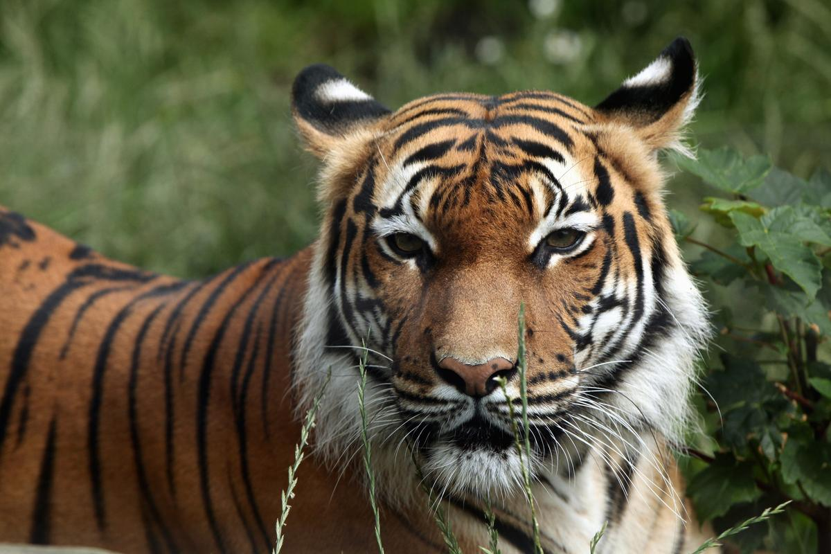 A Malayan tiger (not the individual pictured here) has tested positive for COVID-19 at Bronx Zoo