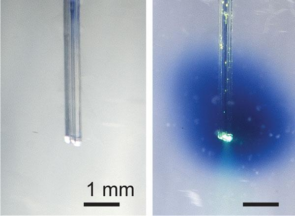 Implanted into a phantom brain (left), the device successfully delivered light and a blue dye (right)