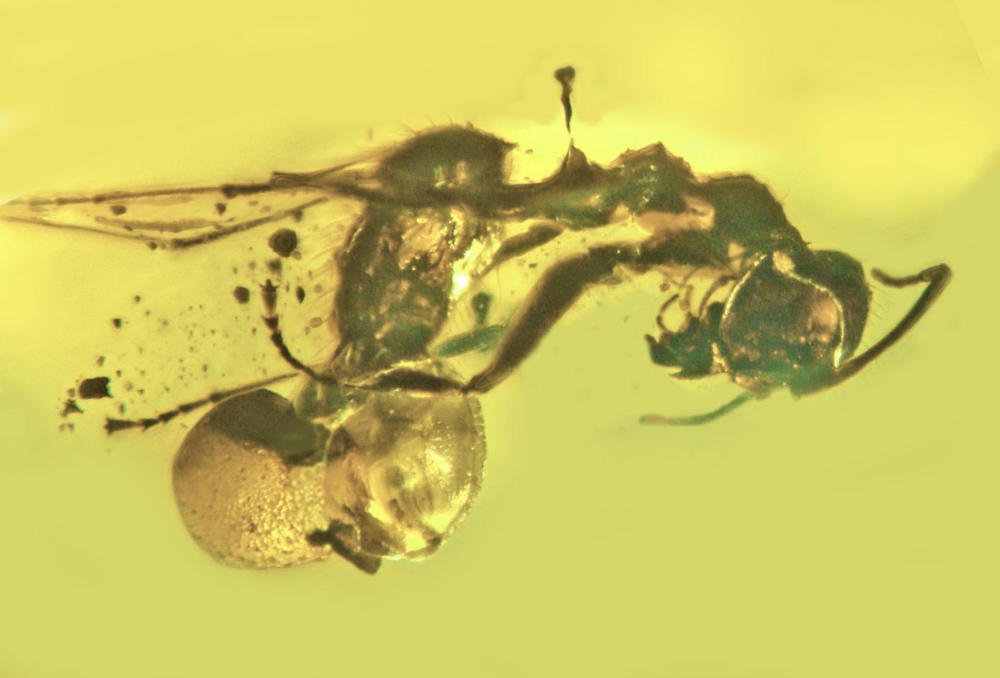 In a piece of 50-million-year old amber, researchers have discovered a novel species of parasitic fungus that preys on ants
