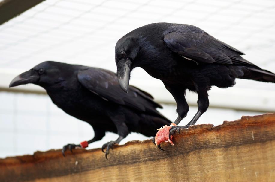 Ravens have an ability to plan for their future, new research shows