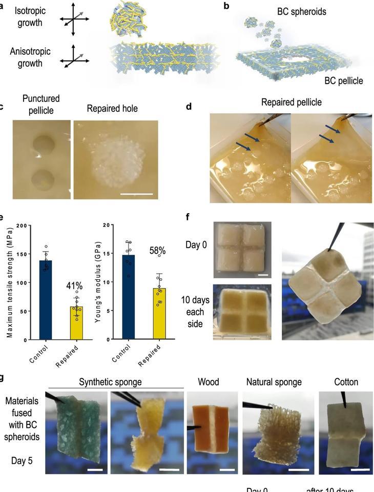 Diagrams depict the effectiveness of a new self-repairing, bacteria-based building block