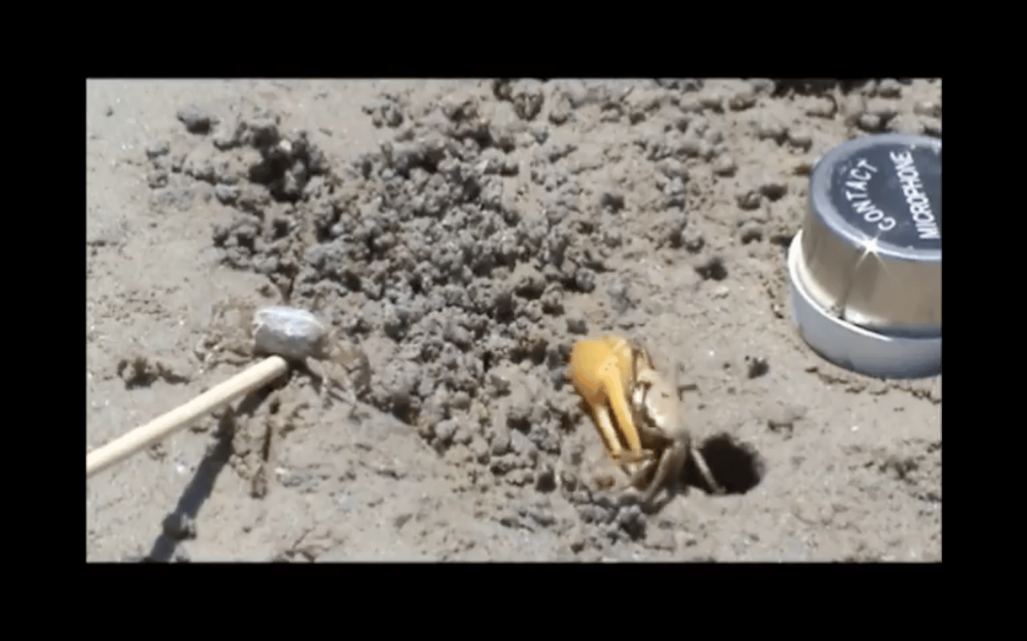 The frequency of the fiddler crab's drumming had a positive relationship with the size of its burrow