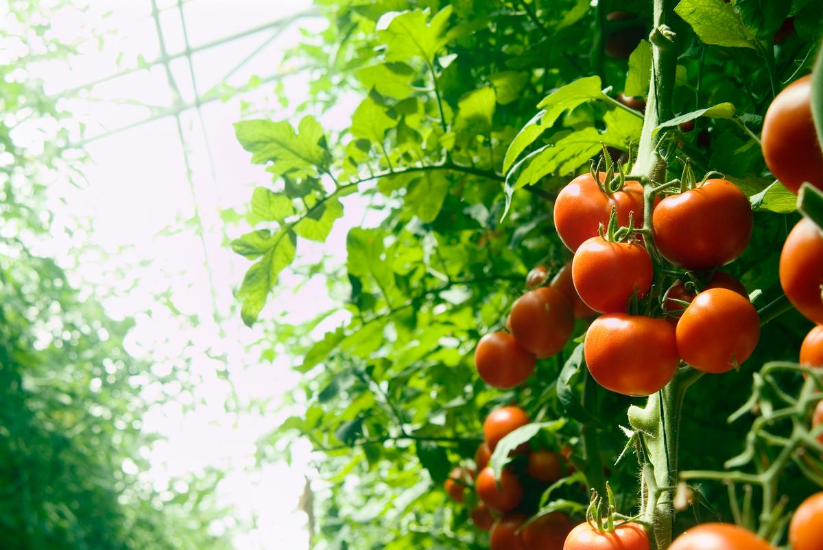 Researchers have modeled how tomatoes growing in greenhouses would be affected by transparent solar cells installed on the roof