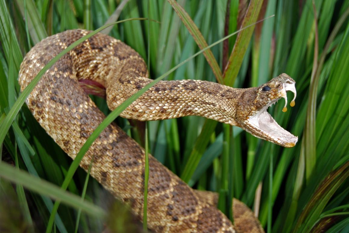A peptide extracted from rattlesnake venom has been found to be a promising candidate to make new antibiotics to fight superbugs