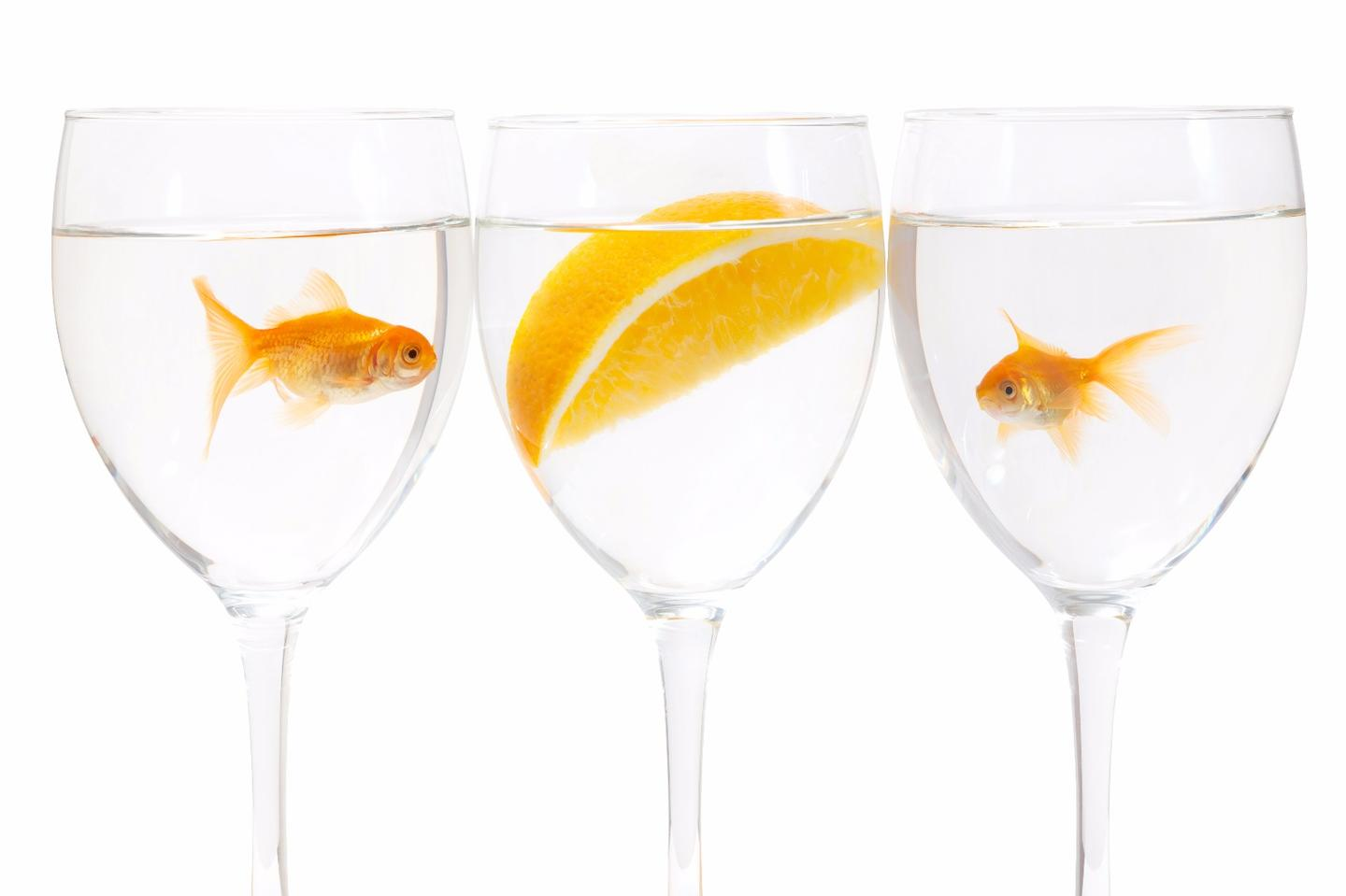 European researchers have discovered how agoldfish, and its cousin the crucian carp, create their own alcohol to help them survive the winter