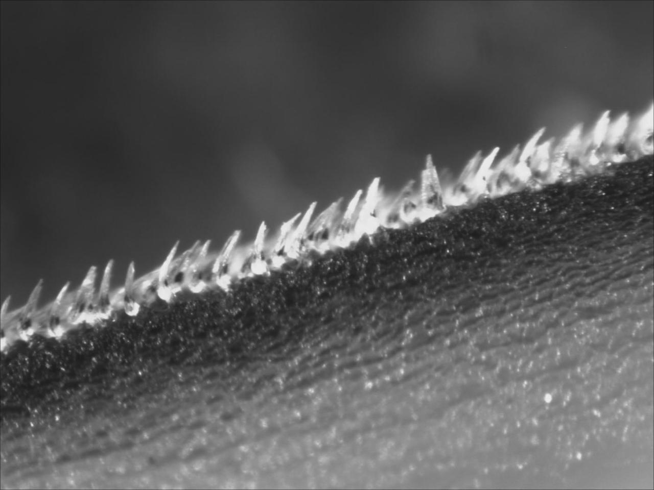A close-up view of a front row of the denticles, from a shortfin mako's flank behind its gills – they've been manually bristled for the photograph