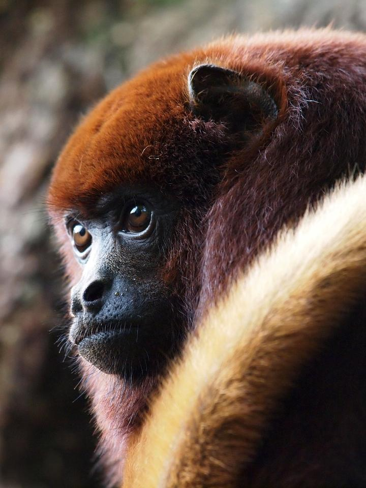 The mantledhowler monkey is one of the species studied by the researchers
