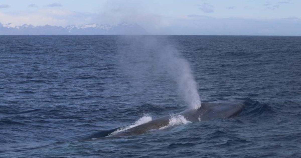 Blue whales return to South Georgia island after 50 years