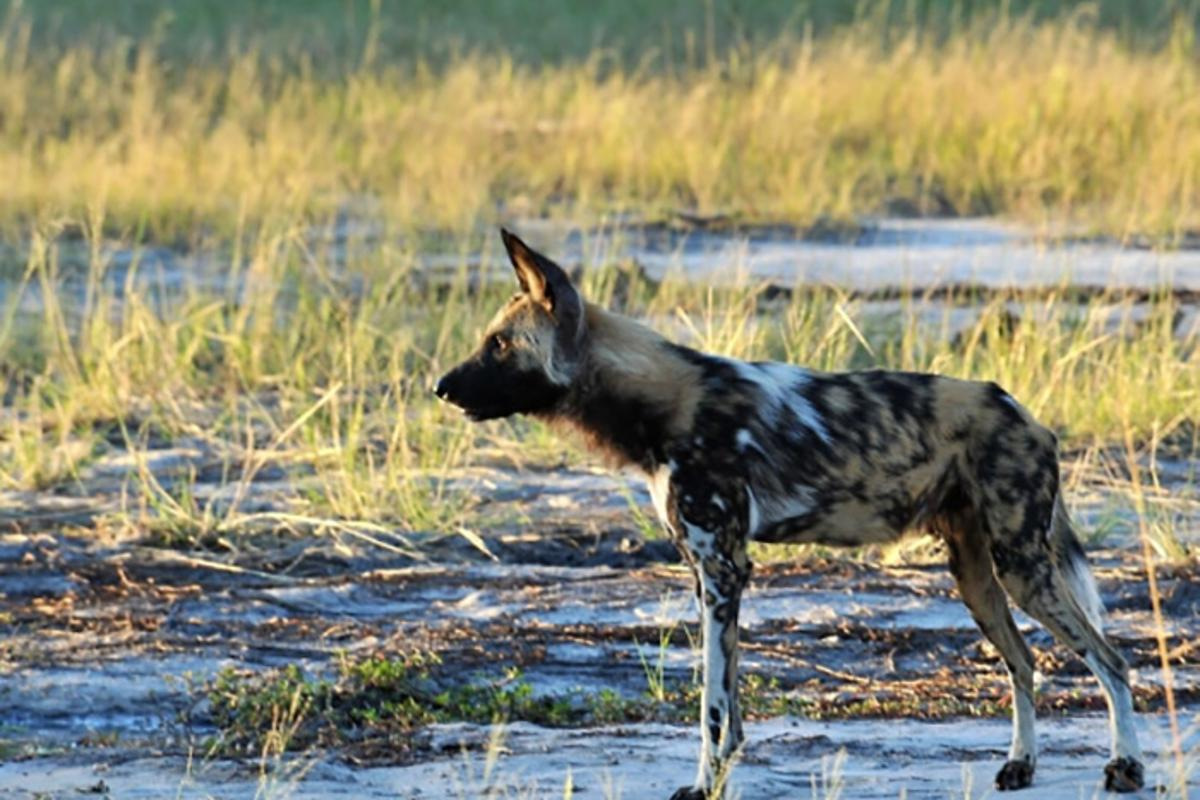 Sneezing in wild African dogs had previously been thought of as a way for the animals to clear their throats, but new research claims it's used asa form of voting