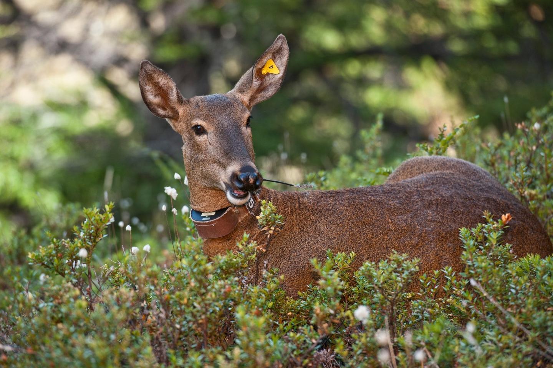A huemel, or South American deer, in Patagonia National Park, Chile
