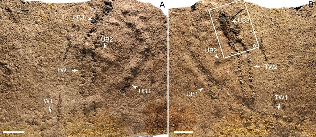 Dating back between 551 and 541 million years,  these are the oldest fossil footprints ever found