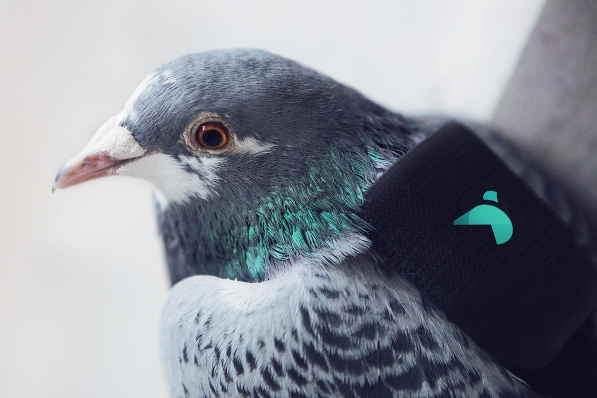 One of the air-patrolling pigeons with its snazzy backpack