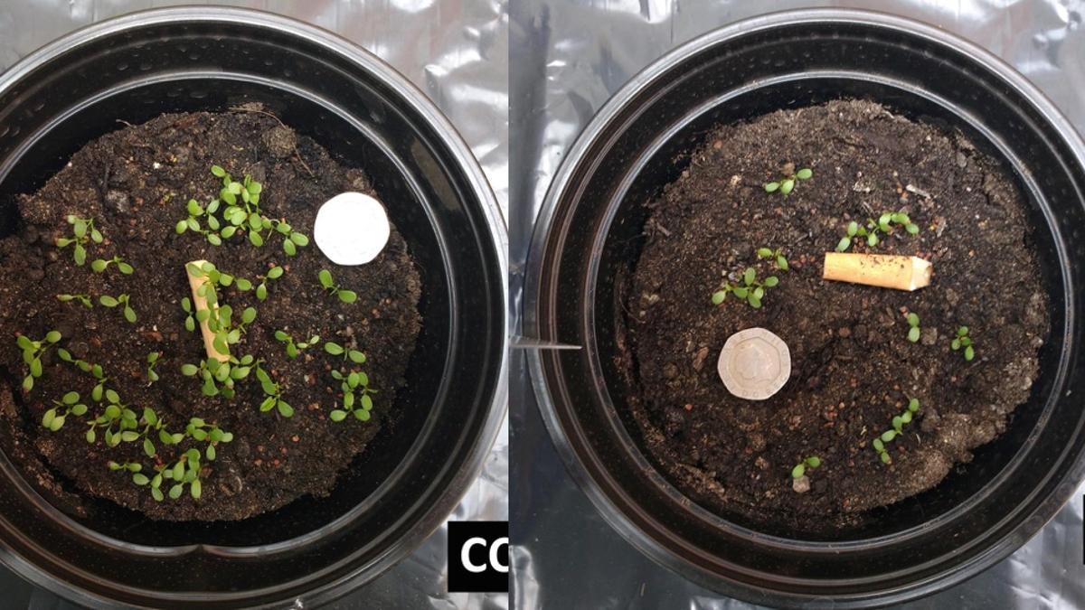 Pots of white clover, seven days after a butt-shaped piece of wood was added (left) and an actual cigarette butt (right)