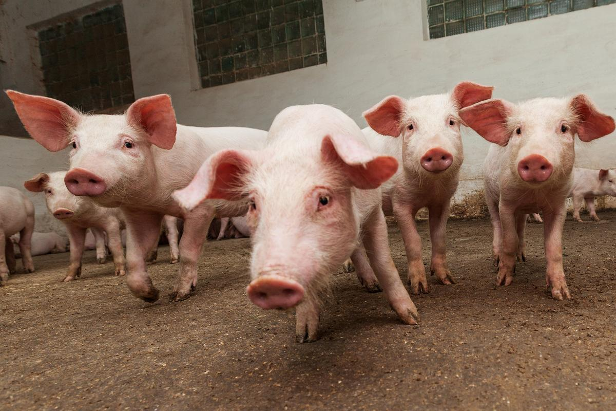 FDA approves first genetically modified pig for food and ...