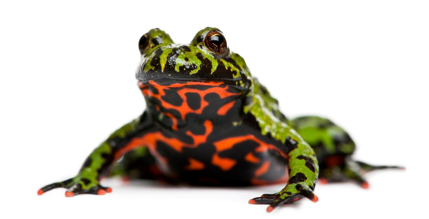 The oriental fire-bellied toad is native to Korea, and is a popular pet
