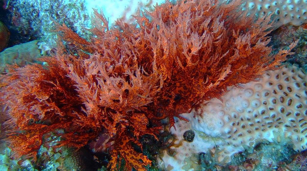 Red algae is a source of bacteria-killing lanosol (Photo: John Martin Davies)