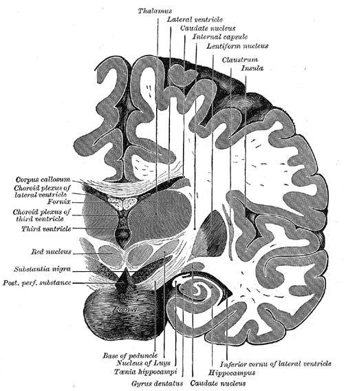 """Cross section of brain showing the dentate gyrus (""""Gyrus dentatus"""" at bottom center)"""