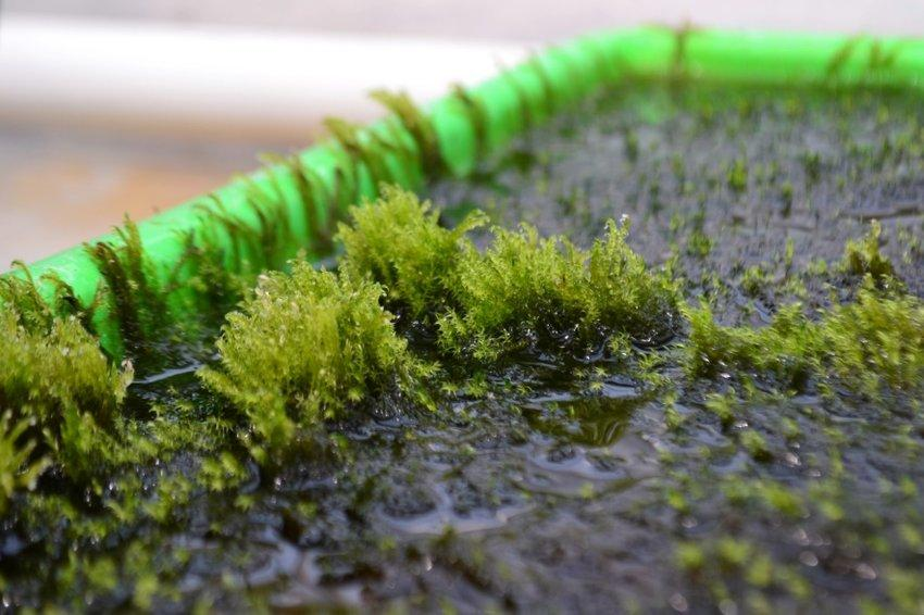 This aquatic moss could clean up waterways contaminated with high levels of arsenic