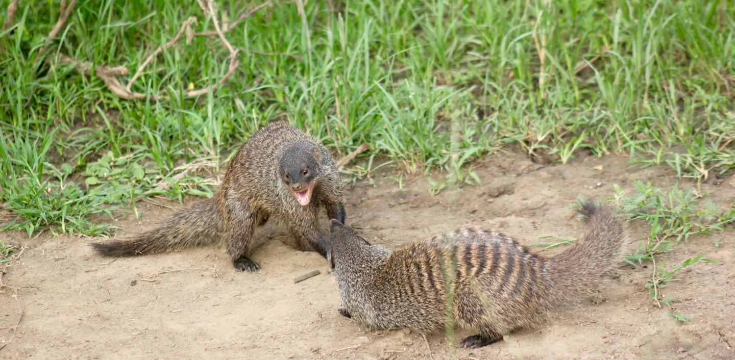 Things are definitely not pretty when it's eviction time in a banded mongoose colony