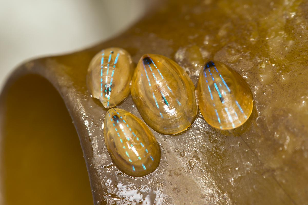 Blue-rayed limpets cling to a piece of kelp (Photo: Shutterstock)