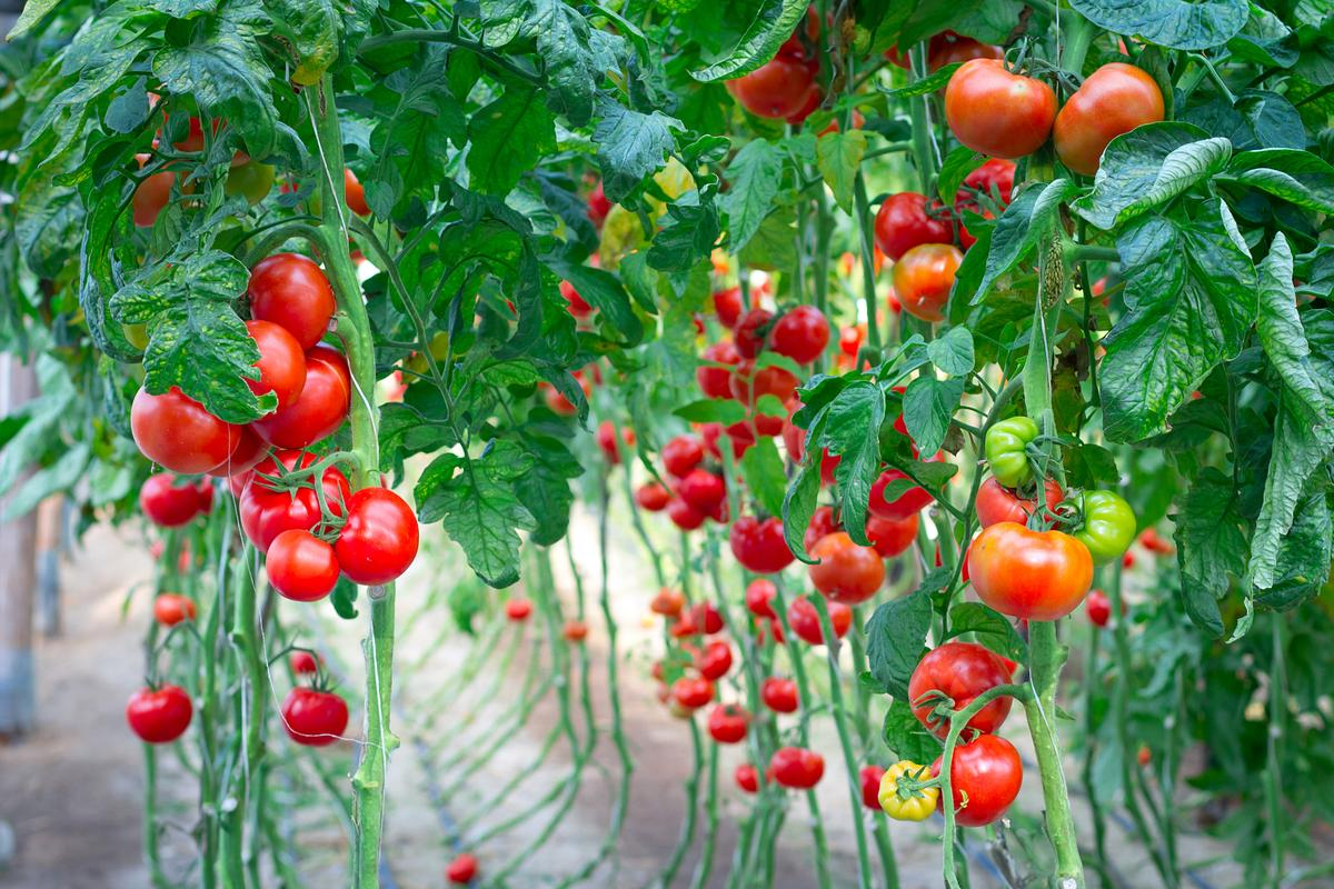 Scientists have found that knocking out a single gene can affect the rate of ripening of tomatoes