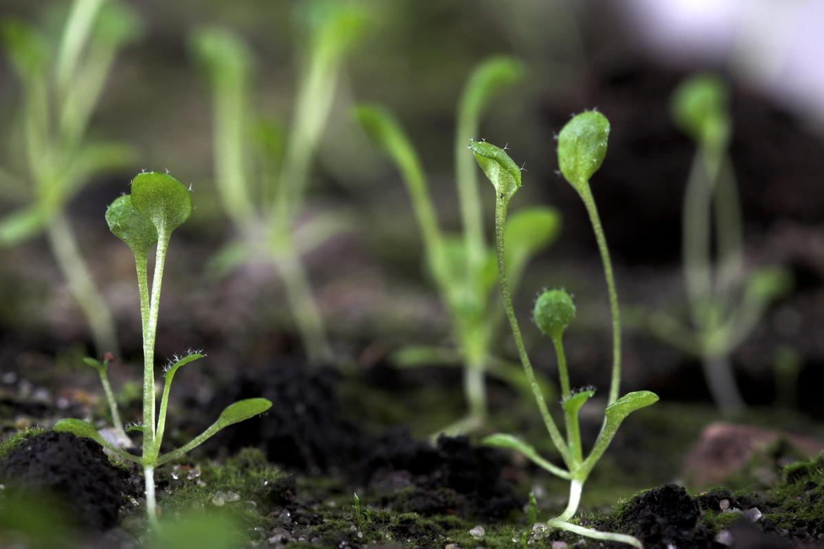 Scientists studied the impacts of plastic particles on Arabidopsis thaliana, and found that they can inhibit its growth and reduce the overall biomass of the fully formed plant